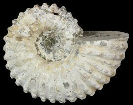 "4.3"" Bumpy Douvilleiceras Ammonite - Madagascar For Sale, #53315"