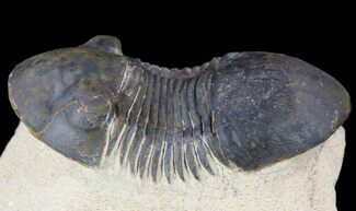 "2.2"" Paralejurus Trilobite Fossil - Foum Zguid, Morocco For Sale, #53522"