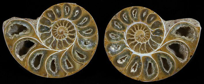 "3"" Cut & Polished, Agatized Ammonite Fossil - Jurassic"