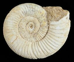 "3.4"" Perisphinctes Ammonite - Jurassic For Sale, #54260"