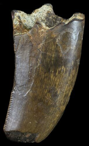 "1.38"" Tyrannosaur Tooth With Feeding Worn Tip - Montana"