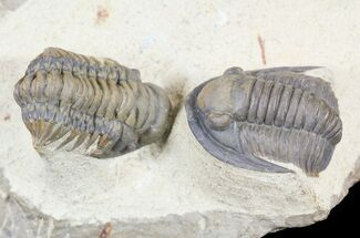 Beautiful Crotalocephalina & Cornuproetus Trilobite Association For Sale, #54338