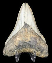 "Bargain, 4.19"" Megalodon Tooth - North Carolina For Sale, #53246"