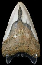 Carcharocles megalodon - Fossils For Sale - #54798