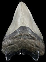"4.69"" Megalodon Tooth - North Carolina For Sale, #54776"