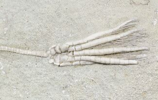 "Buy 2.8"" Scytalocrinus Crinoid With Long Stem - Indiana - #55159"