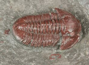 ".78"" Red Gerastos Trilobite - Hmar Laghdad, Morocco For Sale, #54377"
