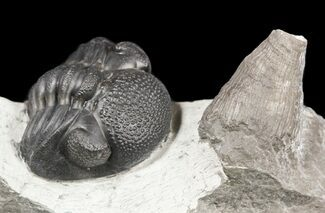 ".85"" Enrolled Eldredgeops (Phacops) Trilobite With Horn Coral For Sale, #55001"