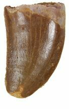 "Buy Serrated, .89"" Juvenile Carcharodontosaurus Tooth - #55774"
