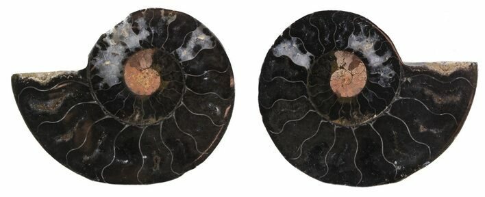 "2.5"" Split Black/Orange Ammonite Pair - Unusual Coloration"