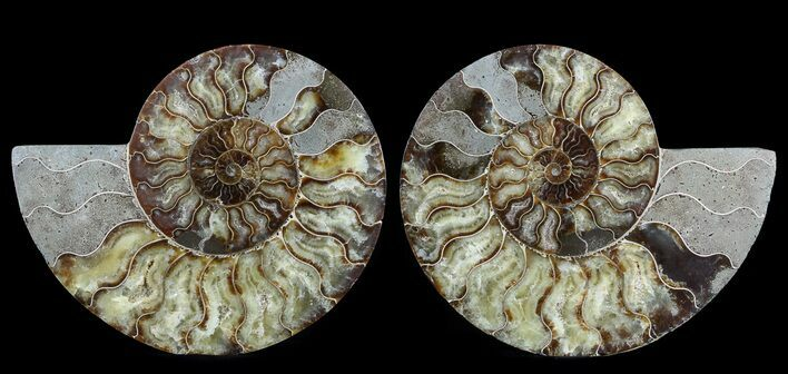 "Large, 9"" Polished Ammonite Pair - Agatized"