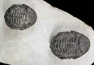 Two Pedinopariops Trilobites  - Mrakib, Morocco For Sale, #55469