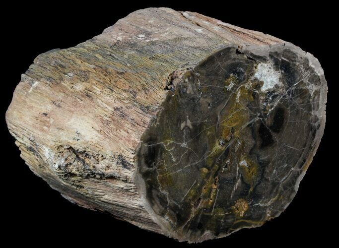 "6.4"" Polished Petrified Wood (Arucaria) Limb - Amarillo, Texas"