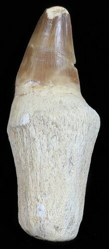 "2.7"" Rooted Mosasaur (Prognathodon) Tooth"