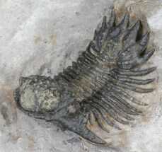 "1"" Bumpy Acanthopyge (Lobopyge) Trilobite - Cyber Monday Deal! For Sale, #40595"