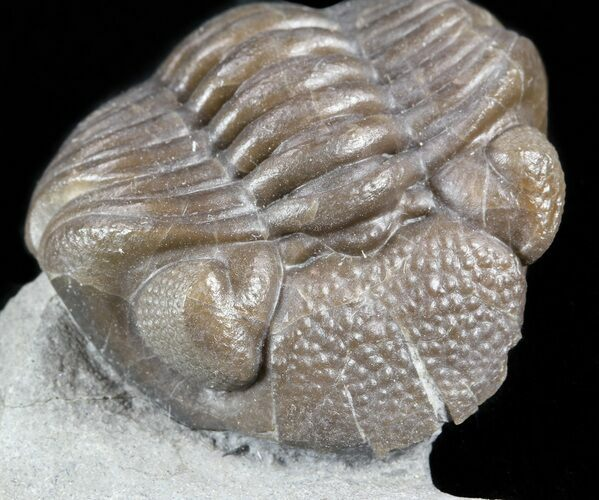 "1.2"" Wide, Enrolled Eldredgeops Trilobite - Ohio"