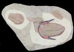 Colorful, Ordovician Harpides Trilobite - Draa Valley, Morocco For Sale, #31097