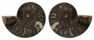 "Buy 3.6"" Split Black/Orange Ammonite Pair - Unusual Coloration - #55597"