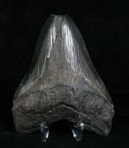 5.02 Inch Black Megalodon Tooth - Georgia For Sale, #4973