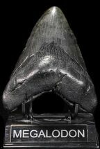 "Buy Large, 4.92"" Fossil Megalodon Tooth - #56830"
