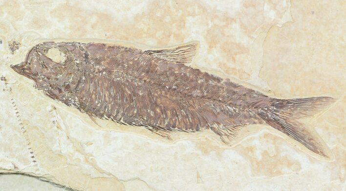 "Detailed, 4.4"" Knightia Fossil Fish - Wyoming"