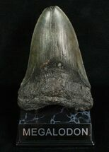 Carcharocles megalodon, Georgia, 5.45 inches long, #4989