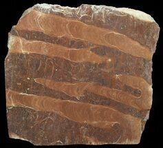 "8"" Polished Stromatolite (Jurusania) From Russia - 950 Million Years For Sale, #57551"