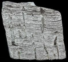 "Buy 4.2"" Polished Precambrian Stromatolite - Siberia - #57583"