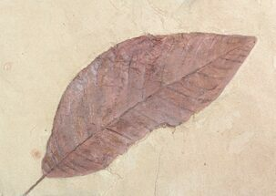 "9"" Red, Paleocene Fossil Leaf - Montana For Sale, #57704"