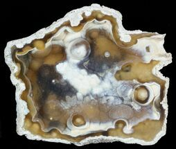 "3.8"" Unique, Agatized Fossil Coral Geode - Florida For Sale, #57709"