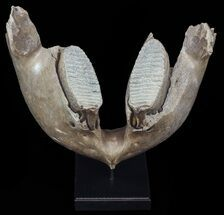 "Buy 21.5"" Wide Woolly Mammoth Lower Jaw With M3 Molars - #57823"