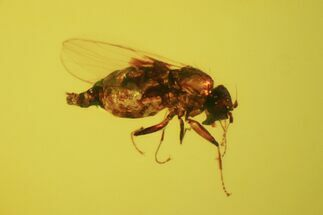 Fossil Fly (Diptera) In Baltic Amber For Sale, #58073
