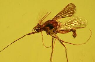 Detailed Fossil Fly (Diptera) In Baltic Amber For Sale, #58022