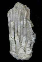 "1.5"" Detailed Fossil Crinoid (Dasciocrinus) - Alabama For Sale, #58259"