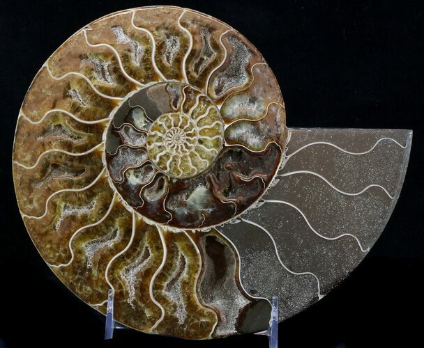 "9"" Cut Ammonite Fossil (Half) - Beautifully Agatized"
