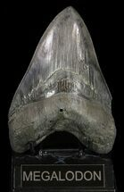 "Buy Serrated, 5.77"" Megalodon Tooth - Huge Meg tooth - #58474"