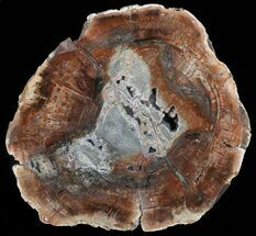 "Buy 14"" Colorful Petrified Wood Round - Madagascar - #58813"