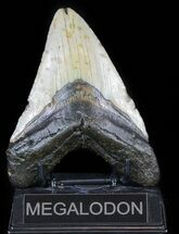 "Buy Bargain, 4.97"" Megalodon Tooth - North Carolina - #59032"