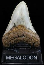 "4.69"" Megalodon Tooth - North Carolina For Sale, #59033"