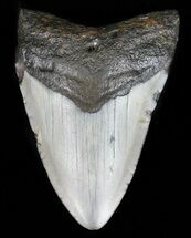"Bargain, 3.19"" Megalodon Tooth - North Carolina For Sale, #59141"