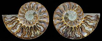 Cleoniceras - Fossils For Sale - #59433