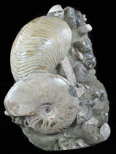 "13"" Cretaceous Nautilus and Ammonite Cluster - Madagascar"