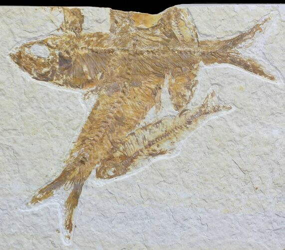 Overlapping Multiple Fossil Fish (Knightia) - Wyoming