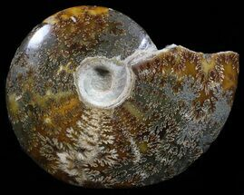 "Buy Bargain 5.6"" Polished, Agatized Ammonite - Madagascar - #59890"