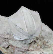 Buy Blastoid (Pentremites) Fossil - Illinois   - #60130