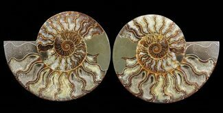 Cleoniceras - Fossils For Sale - #60285