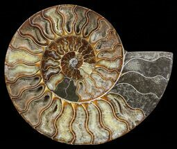 "Buy 7.6"" Cut Ammonite Fossil (Half) - Agatized - #60289"