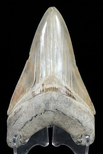 "Serrated, 4.40"" Lower Megalodon Tooth"