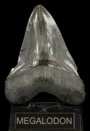 "Serrated, 5.58"" Megalodon Tooth - Huge Tooth"