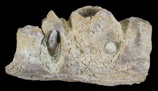 "1.6"" Mosasaur (Platecarpus) Jaw Section - Kansas For Sale, #60668"